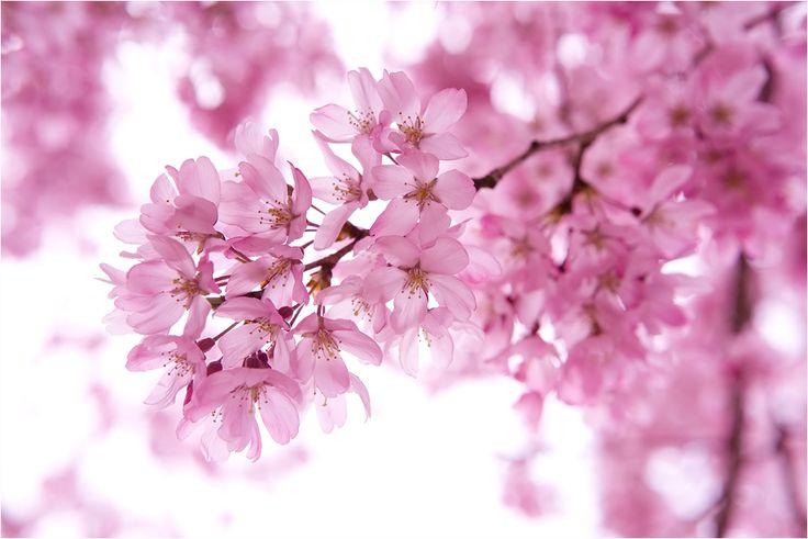 Cherry Tree Japanese Cherry Tree Cherry Blossom Tree Cherry Images