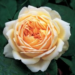 Jude The Obscure - David Austin Roses  Jude The Obscure. Strong, fruity fragrance with hints of guava and sweet white wine.