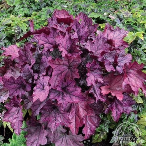 Heuchera Spellbound Fancy Leaf C Bells Part Shade 9