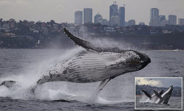 'Best whale photos in 10 years' captured from Sydney Harbour
