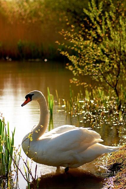 Swan Lake - Terry Winter