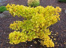 Ginkgo biloba ' Mariken ' Dwarf Maidenhair Tree - Kigi Nursery