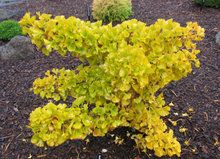 Ginkgo biloba ' Mariken ' Dwarf Maidenhair Tree - Kigi Nursery