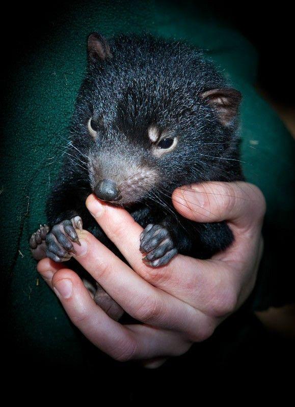 59 best Tasmanian devil images on Pinterest   Tasmanian ...