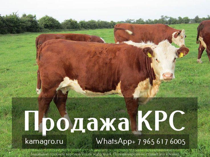 Как просто и не дорого купить КРС? подробнее у нас на сайте http://www.kamagro.com/
