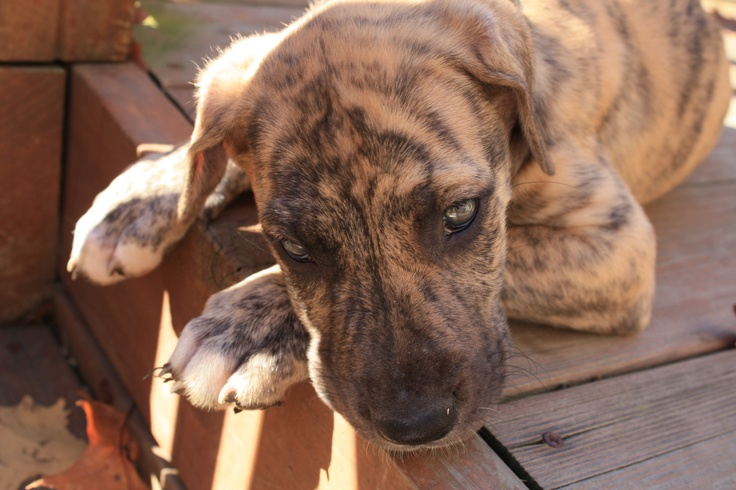 Love this shot of my Brindle Great Dane, Kendall when she was just a baby.