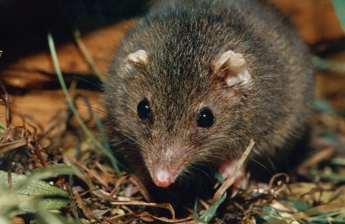 Portrait of a cute Dusky Antechinus with large watchful eyes.