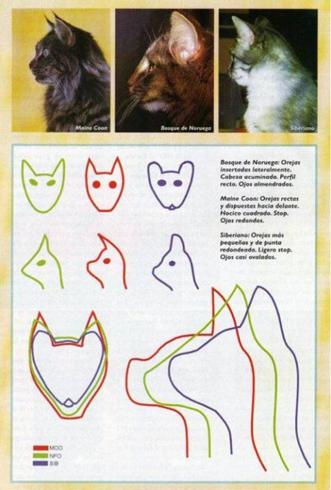 Differences between Norweign Forest Cats, Maine Coons and Siberians. I need to look closer at Tensing.