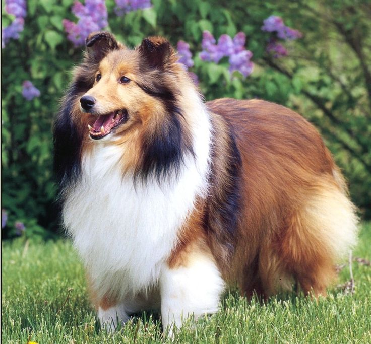 Shetland Sheepdog or sheltie, also called the little lassie and the miniature collie.