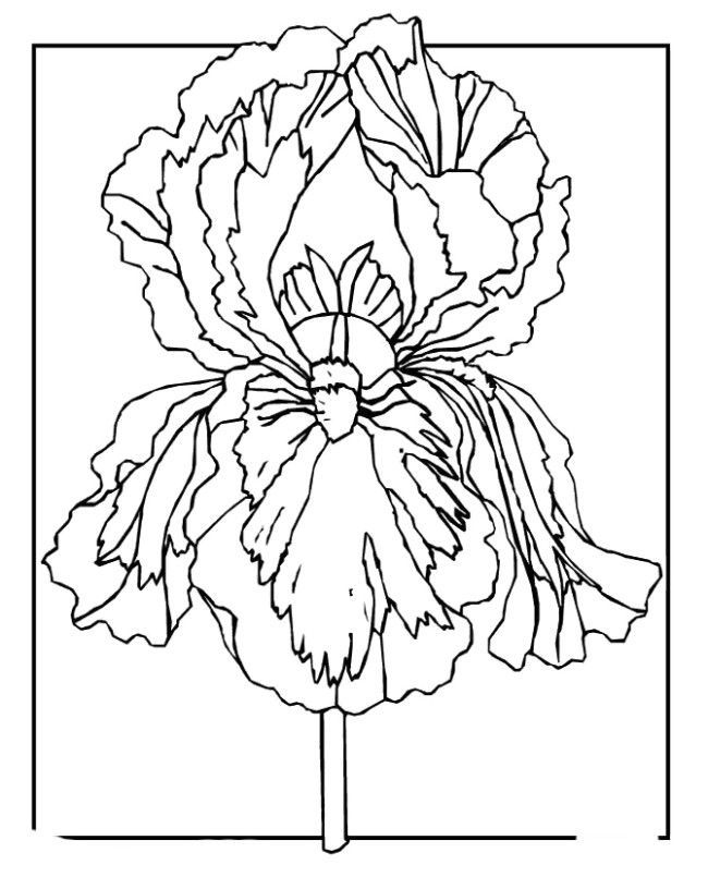 22 best iris line drawings images on pinterest iris flowers