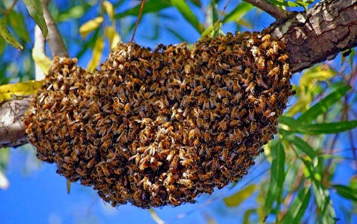 essaim abeille