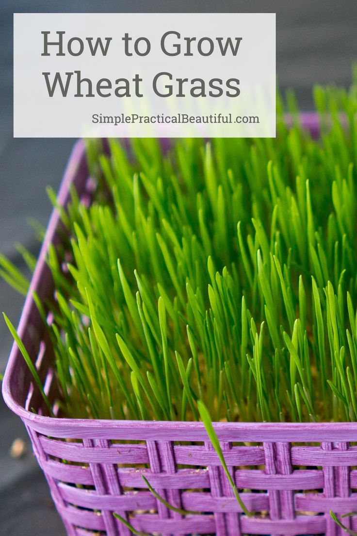 Make A Basket With Living Grass Simple Practical Beautiful Growing Grass From Seed Wheat Grass Seeds Growing Grass