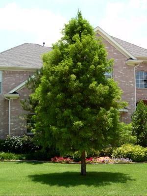 Wilson Landscape Nursery: Plant Information: Bald Cypress and Montezuma Cypress Plant Informati...