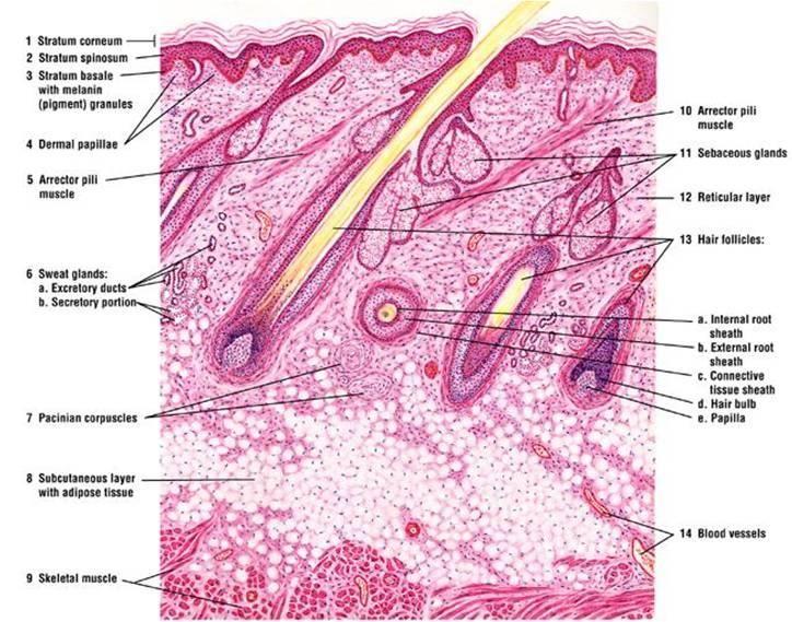 Scalp Skin Diagram Wiring Diagram