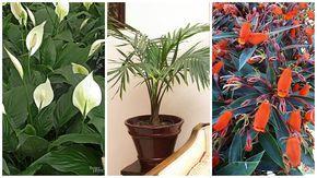 Plante de interior care cresc la lumina slaba. Cand nu mai e loc pe pervaz
