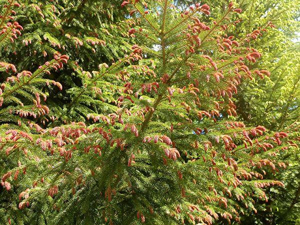 Purppurakuusi luononmuunnoa kuusesta.Uusi vuosikasvu on punainen muttuu myöhemmin vihreäksi.