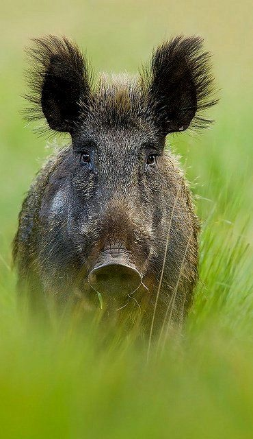 Wild Boar (Everzwijn) | Flickr - Photo by Denis Bitter