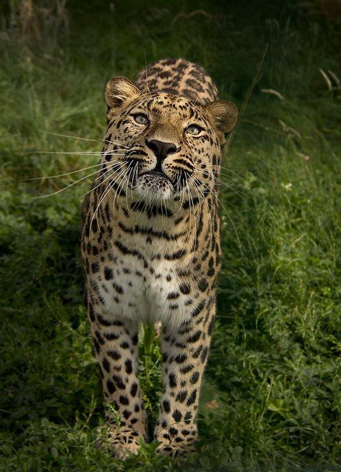 Amur Leopard (Theresa Elvin)