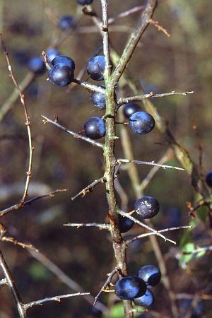 Sleedoorn - Prunus spinosa - aansterkend middel, huid zuiverend en vochtafdrijvend (of sleedoorn-likeur maken)