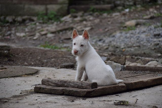 White puppy portrait, from Bijie China  https://www.facebook.com/ACTAsiaForAnimals https://twitter.com/Tweet_ACTAsia https://www.youtube.com/user/ACTAsia1 http://www.oninstagram.com/profile/actasia https://www.linkedin.com/company/actasia-for-animals http://actasia.tumblr.com/