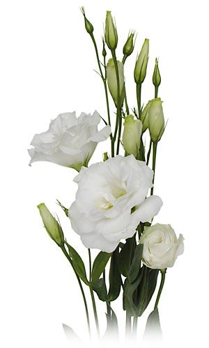 This is the flower I was thinking of - Lisianthus. In certain varieties, the bud form has a really cute spiral shape!
