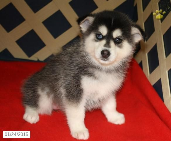 Pomsky Puppy for Sale in Kansas