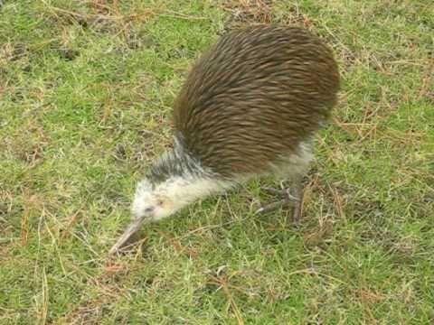 best kiwi bird video ever - YouTube