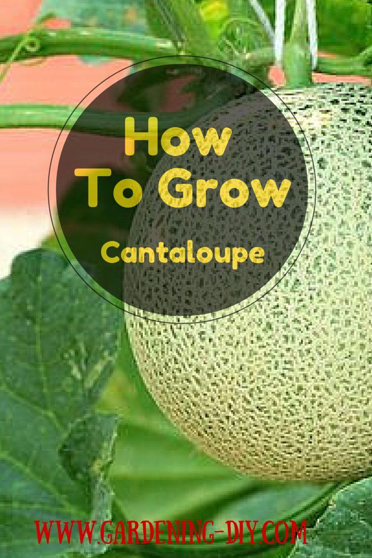 how to choose cantaloupe melon