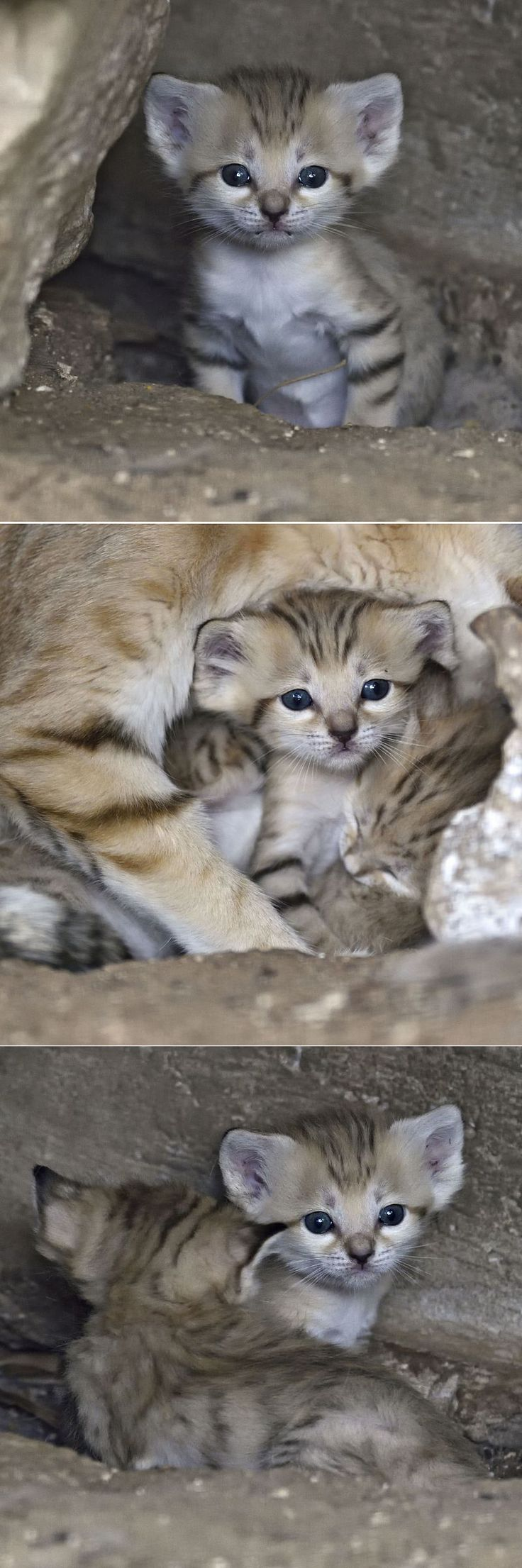 Israel's Sand Cat Kittens Back By Popular Demand.