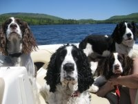 NE English Springer Rescue - Available Dogs   www.essrescue.org  Rescue a great dog!