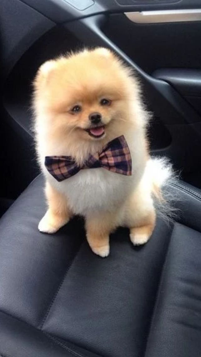 Super cute pom going for a ride!