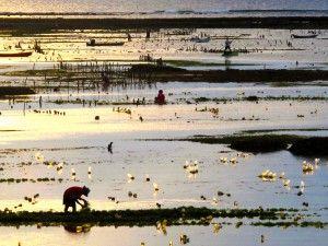 sea weed farming at Nemberala