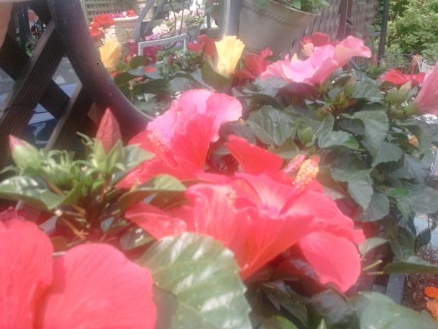 Hibiscus !! in my garden, South Korea