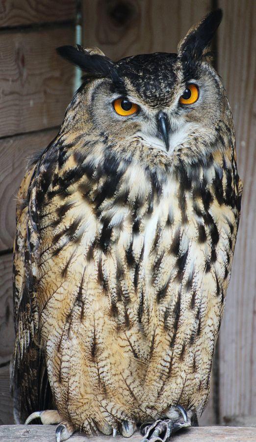 Owly - The Geek — magicalnaturetour:   owl by Robert _C