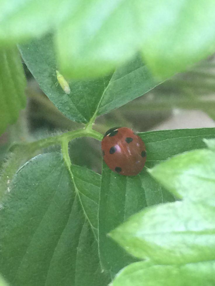 1 ladybug and 12 green tomatoes