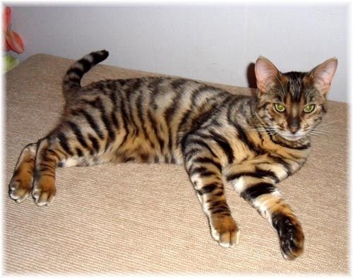 The Toyger was founded by Judy Sugden of EEYAAS Cattery in the USA. The Toyger is the result of a cross between a striped Domestic Short Hair and a Standard Bengal Tabby. This resulted in a striped Cat which after many years of hard work resembles a 'mini Tiger'. It's a designer breed and currently still being developed. Breeder's are striving to give this stunning breed the true look of a mini tiger over the coming years.