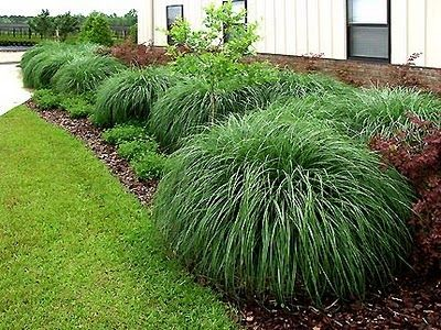 Miscanthus adagio garden grasses pinterest texas and for Maiden grass landscaping ideas