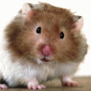 teddy bear hamster - Google Search - 38.2KB