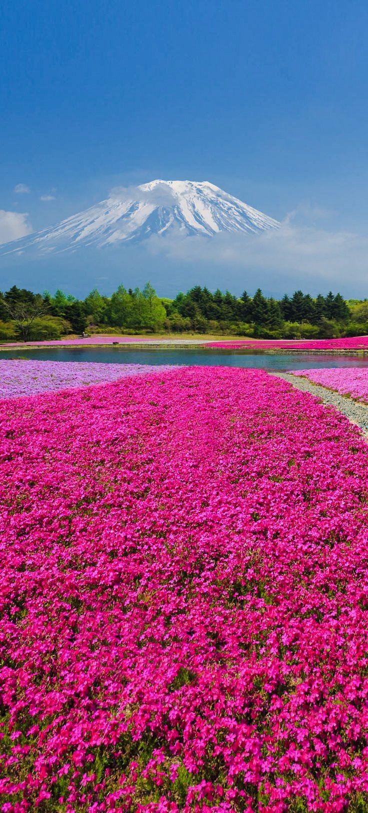 Fuji Shibazakura, Japan; Pink moss