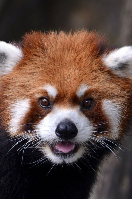 Red pandas are probably one of the cutest animals ever!!! :)