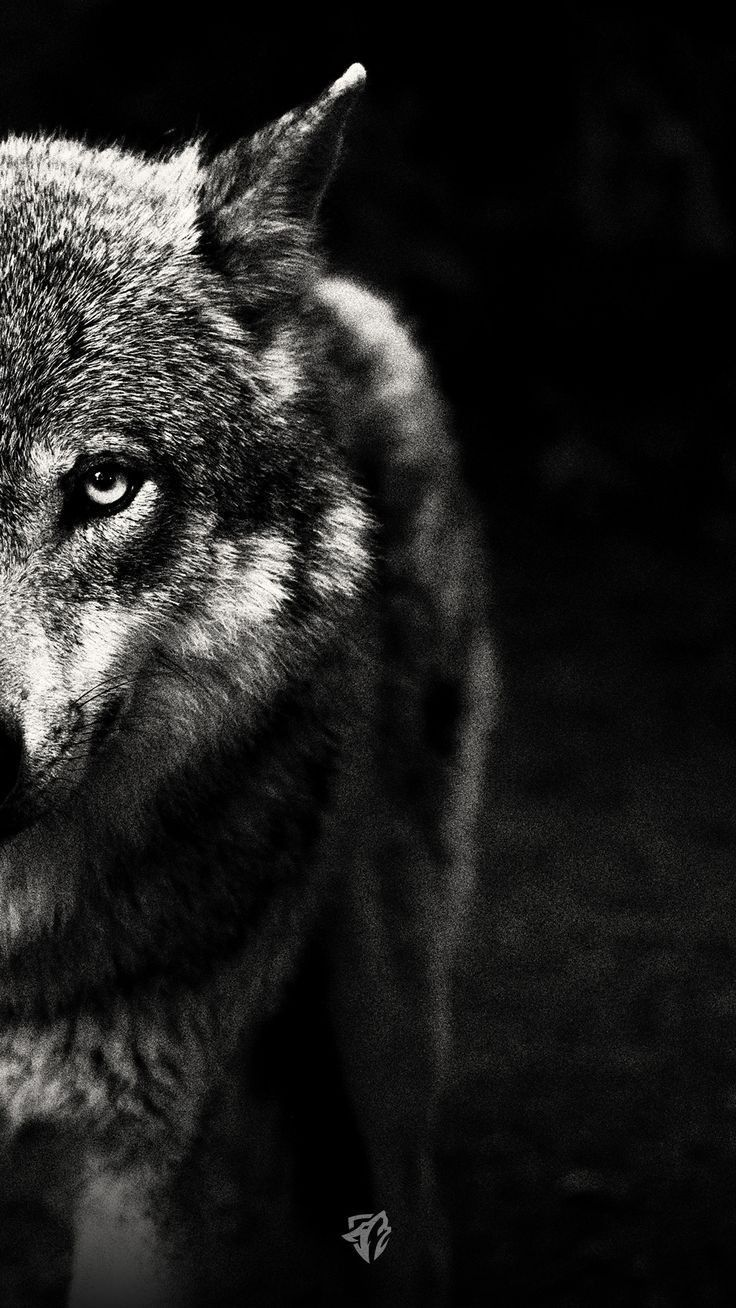 Wolf Wallpaper Wolf Wallpaper Wolf Photography Wolf Artwork