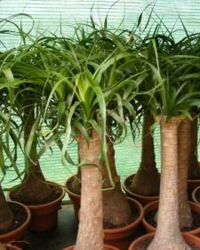ponytail palm care tips additional care link: http://www.gardenguides.com/95172-care-ponytail-plants.html