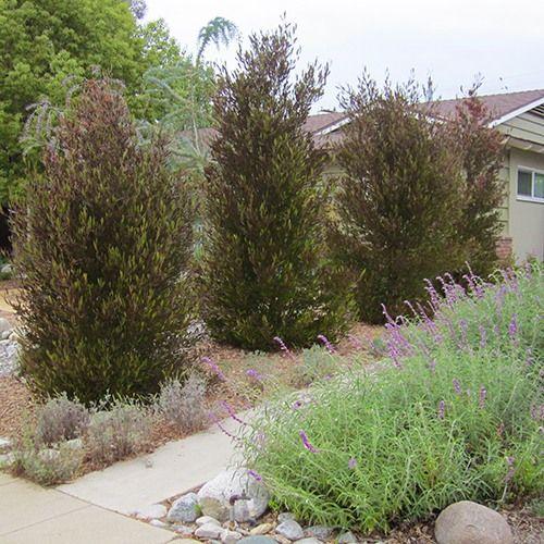 Purple hopseed bush dodonaea viscosa purpurea budget for Purple low maintenance plants