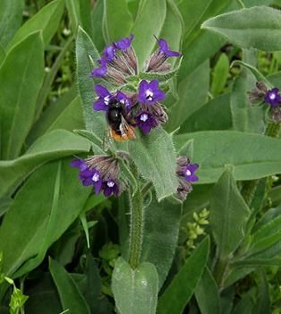 Check out the deal on Alkanet Anchusa officinalis    100 seeds at Hazzard's Seeds