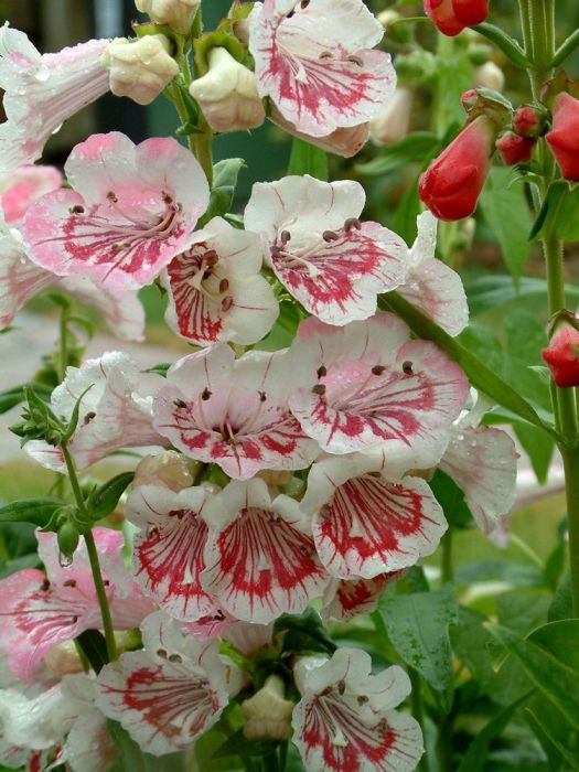 Perennial-- Penstemon Strawberries & Cream. Oblivious of drought or rain, resists slugs & other pests, positively thrives in most soil conditions in containers or borders, sun or part shade and propagates painlessly! Attracts Bees And Butterflies, Drought Tolerant, Flowers For Cutting/Drying, Pest Resistant, Suitable for Containers. Blooms June to November often longer. Unfussy on soil conditions as long as it well-drained. Full sun or partial shade.