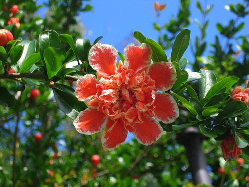 pomegranate tree flowers - Google Search