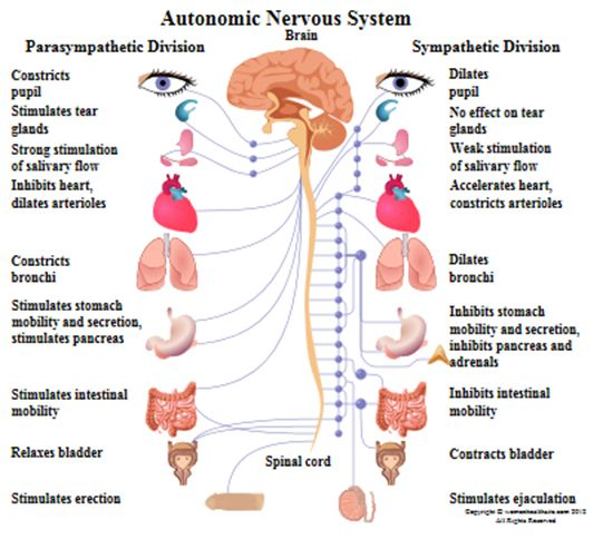 Figure     The central and peripheral divisions of the nervous system Schierling Chiropractic  LLC BLOG   DR  RUSSELL SCHIERLING
