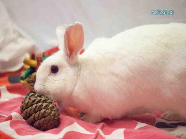 A1525368 - URGENT - CITY OF LOS ANGELES SOUTH LA ANIMAL SHELTER in Los Angeles, CA - Adult Neutered Male Rabbit