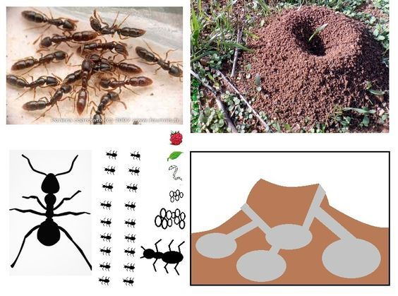 77 best hormigas images on Pinterest   Insects, Ants and Ant
