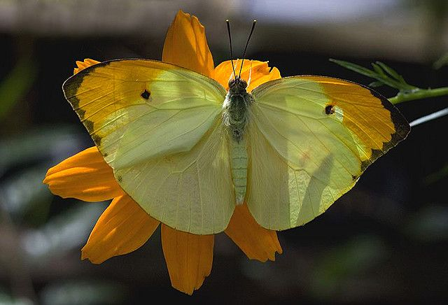 Great Orange Tip (Anteos menippe)  is a common species in lowland areas. It is found west of the Andes in Colombia, and east of the Andes in Venezuela, Brazil, Ecuador and Peru. It also occurs in Panama.Anteos menippe